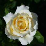 Special Event & Memorial Roses