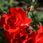 Satchmo_0020_floribunda_0020_rose