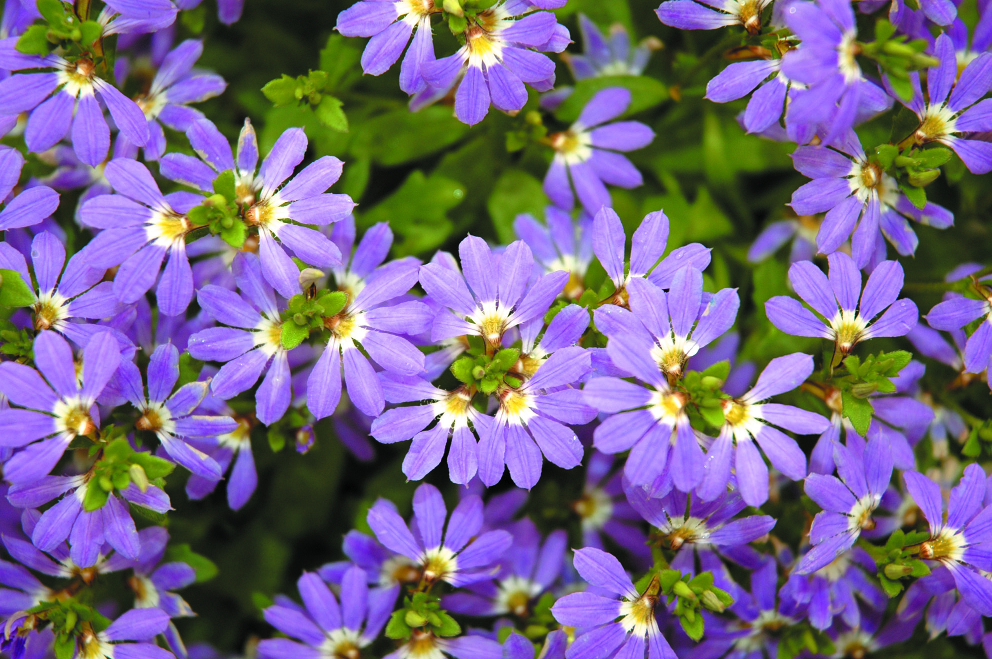 Scaevola Aussie Crawl Common Name Blue Fan Flowers 150mm Pot