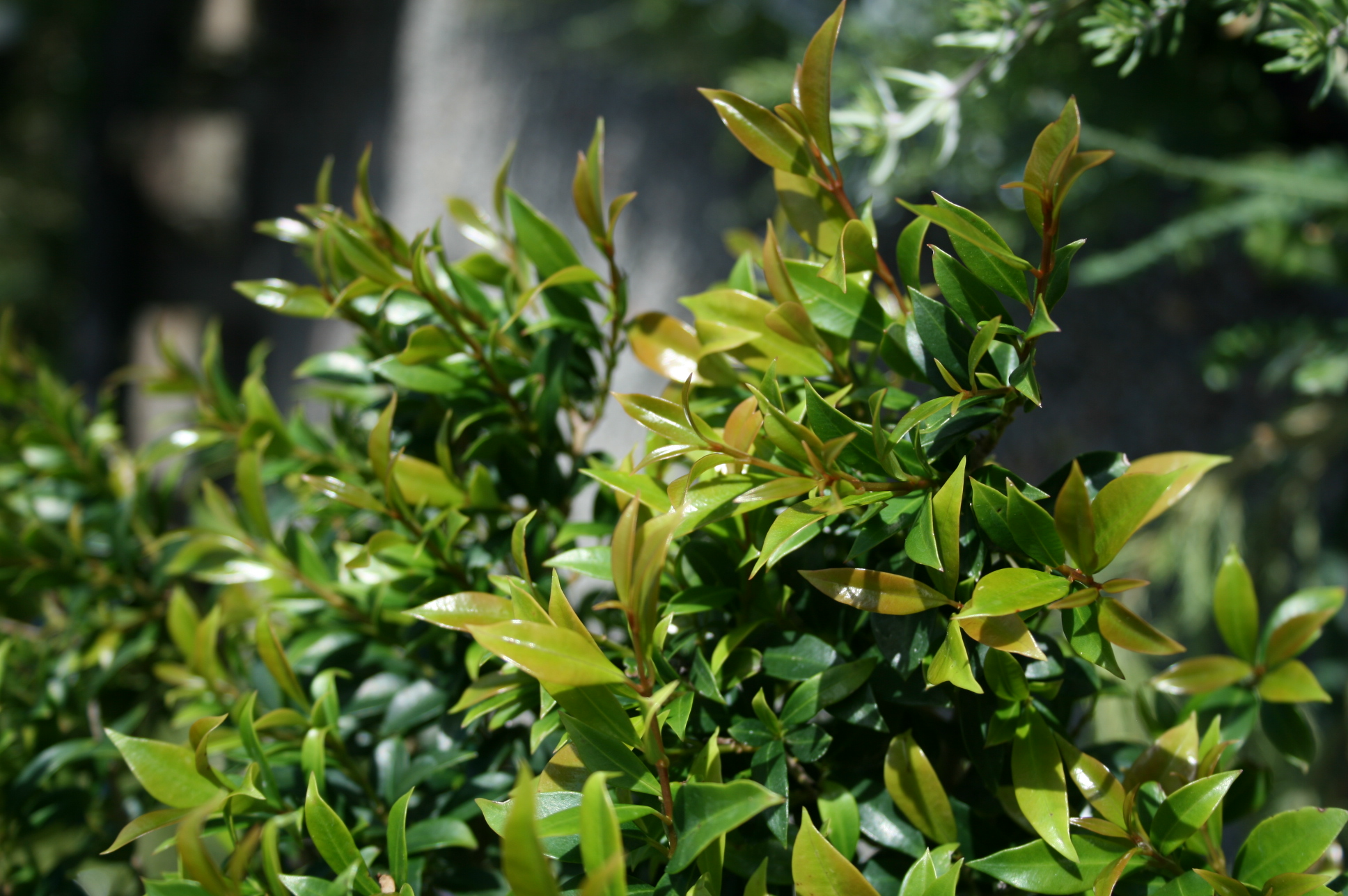 Christmas Bush Tea.Syzygium Bush Christmas Living Sculpture 305mm Pot