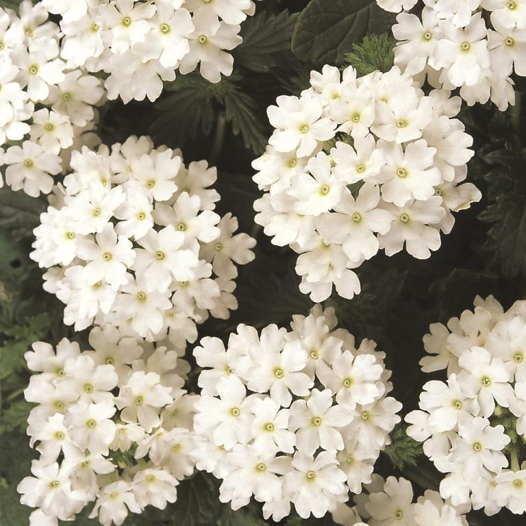 Verbena Aztec White 125mm Pot Dawsons Garden World