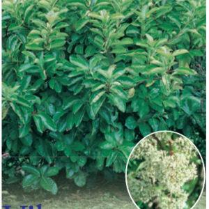 Viburnum_0020_emerald_0020_lustre