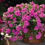 Vinca_0020_Cora_0020_Cascade_0020_Lilac