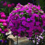 Vinca_0020_Cora_0020_Cascade_0020_Magenta_0020_crop