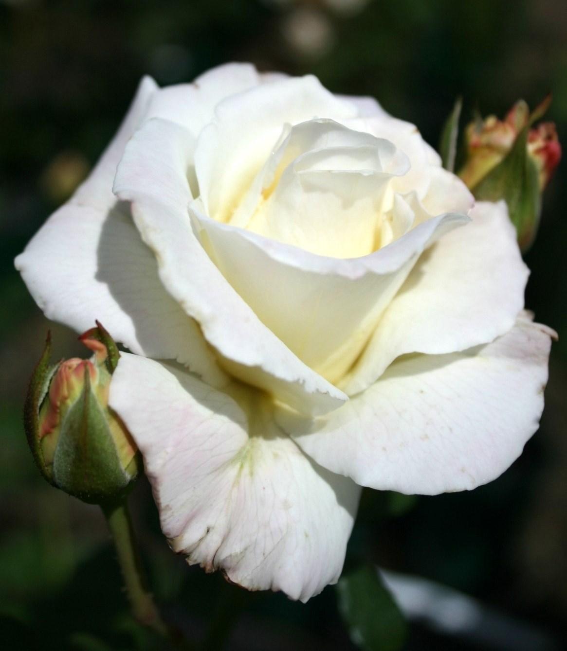 Long stemmed rose hybrid tea white lightnin 175mm pot dawsons long stemmed rose hybrid tea white lightnin 175mm pot mightylinksfo