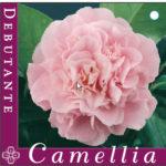 camellia_0020_debutante