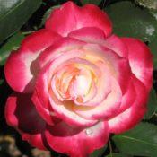 Most Fragrant Roses Dawsons Garden World