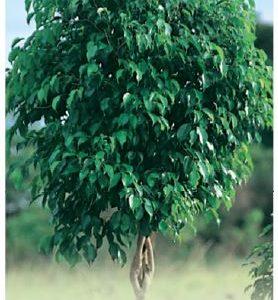 Standard Ficus Benjamina Exotica Common Name Weeping