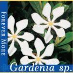 gardenia forever more