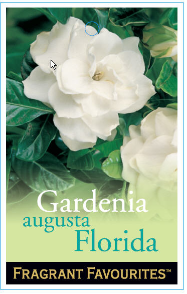 gardenia_0020_augusta_0020_florida2