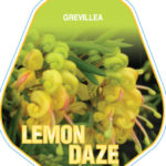 grevillea_0020_lemon_0020_daze
