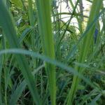 lemon_0020_grass