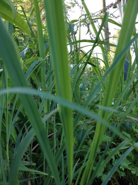 Lemon Grass 125mm Pot | Dawsons Garden World
