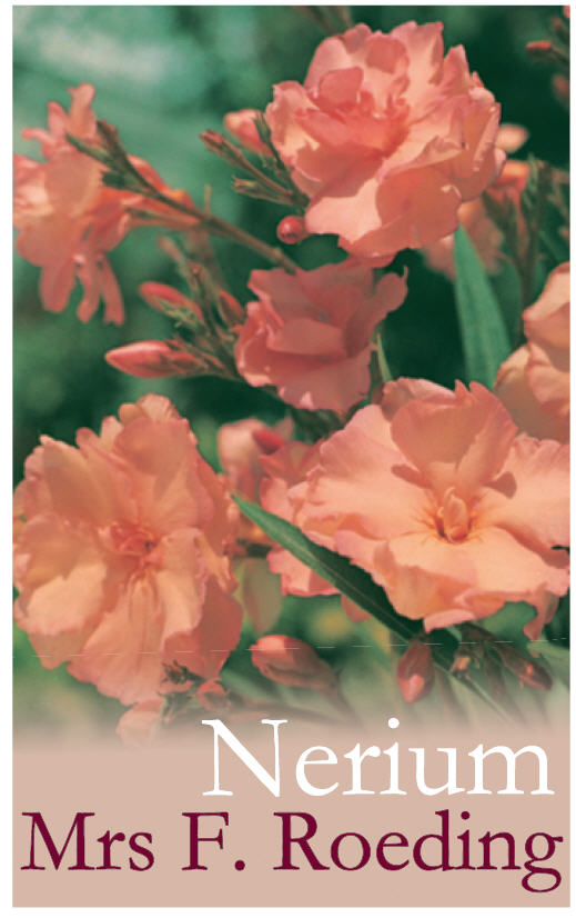 Nerium Mrs F Roeding Common Name Oleander 175mm Pot