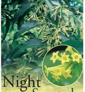 night scented jasmine