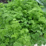 parsley_0020_afro