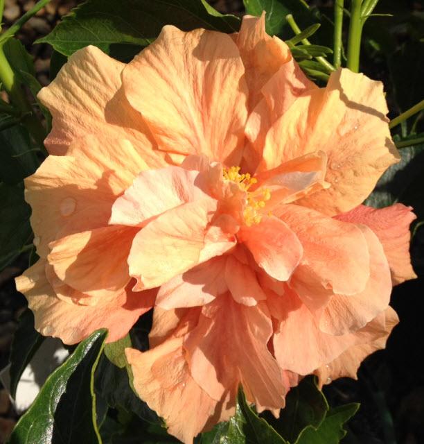 Hibiscus Peach Blow 175mm Pot Dawsons Garden World