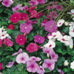 Vinca Mix 125mm Pot