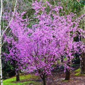 Trees For Smaller Gardens