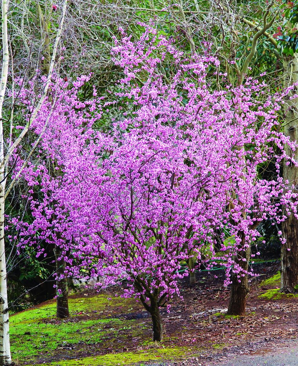 Prunus Blireana (Common Name – Flowering Plum) 250mm Pot ...