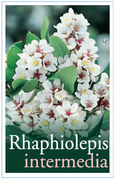 rhaphiolepis_0020_intermedia1