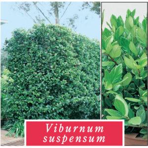 viburnum_0020_suspensum
