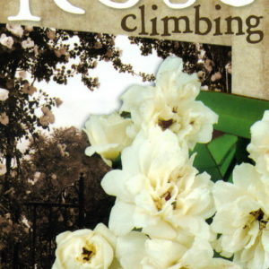Climbing Banksia Alba