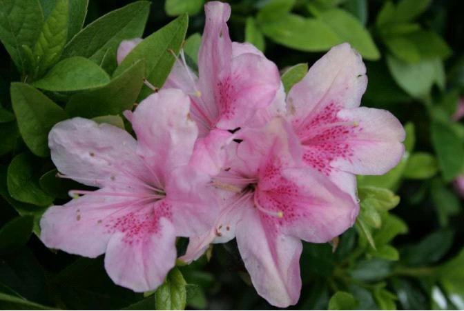 Azalea Fielders Pink 175mm Pot Semi Shade Variety