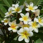 Frangipani White 1