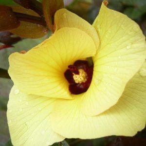Hibiscus Cottonwood flower