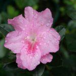 Rose_Queen