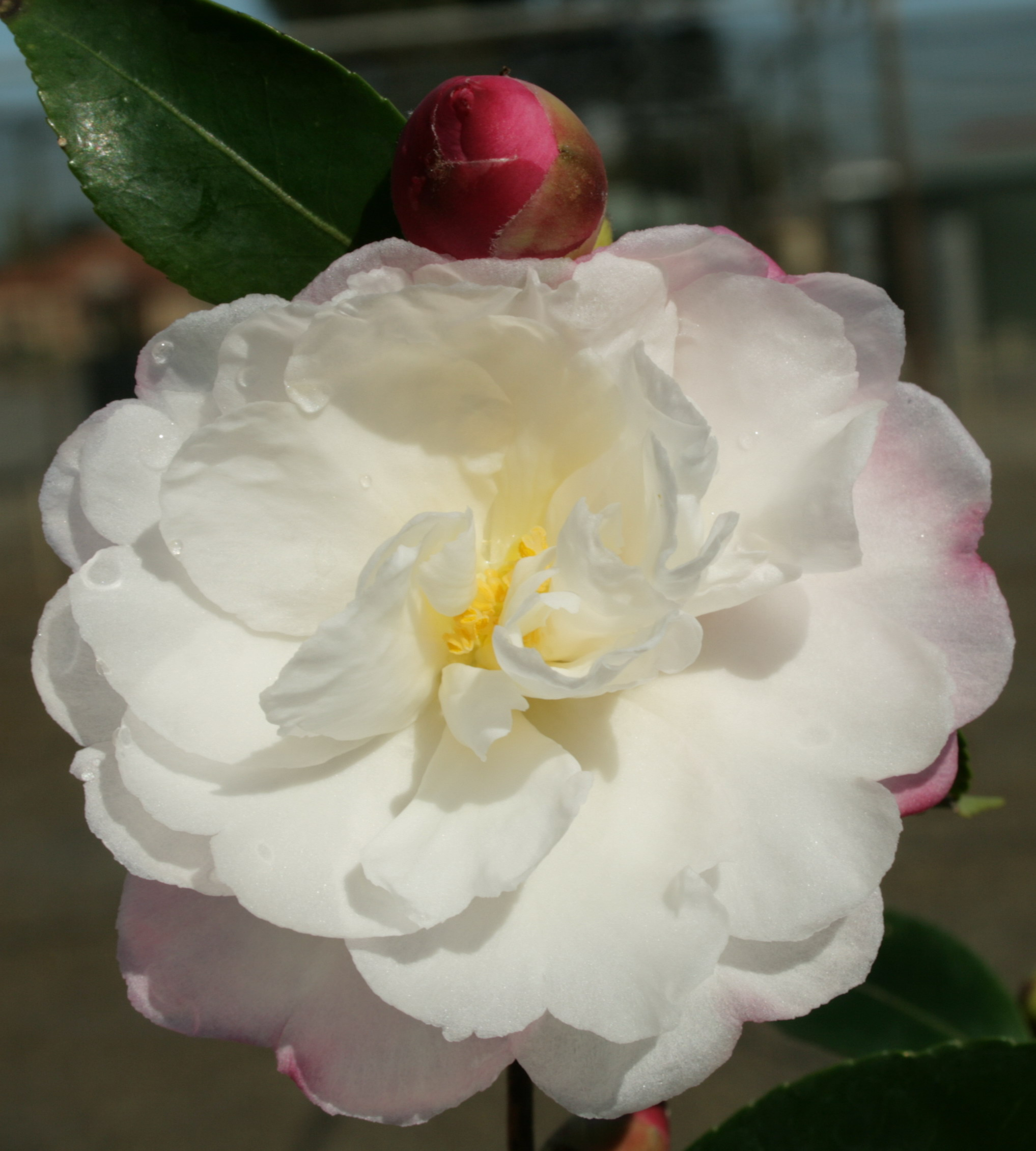 Camellia sasanqua snow cloud 150mm pot semi shade variety for Camelia sasanqua