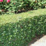 Syzygium Tiny Trev hedge