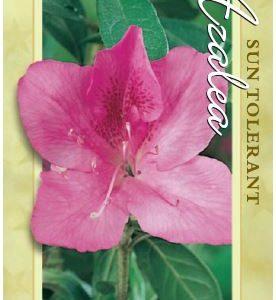 azalea phoenicea