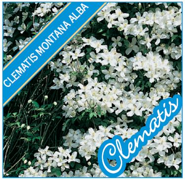 clematis montana alba 150mm pot dawsons garden world. Black Bedroom Furniture Sets. Home Design Ideas
