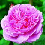 DA_Mary_Rose