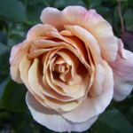 HT Julia's Rose