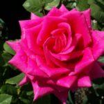 HT_Pink_Kardinal
