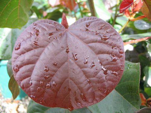 Hibiscus Tiliaceus Rubra Common Name Cottonwood 175mm Pot