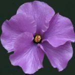 hibiscus_0020_west_0020_coast_0020_gem