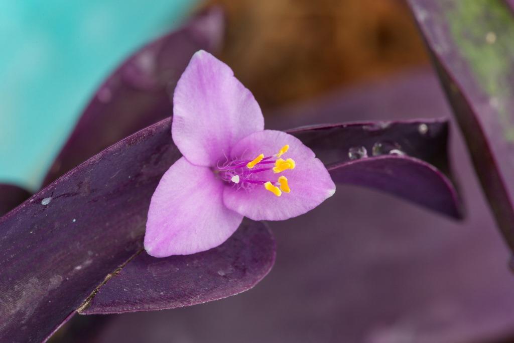 Tradescantia Pallida Purple Heart 150mm Pot Dawsons