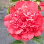 Camellia Jazz