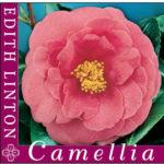 Camellia edith linton
