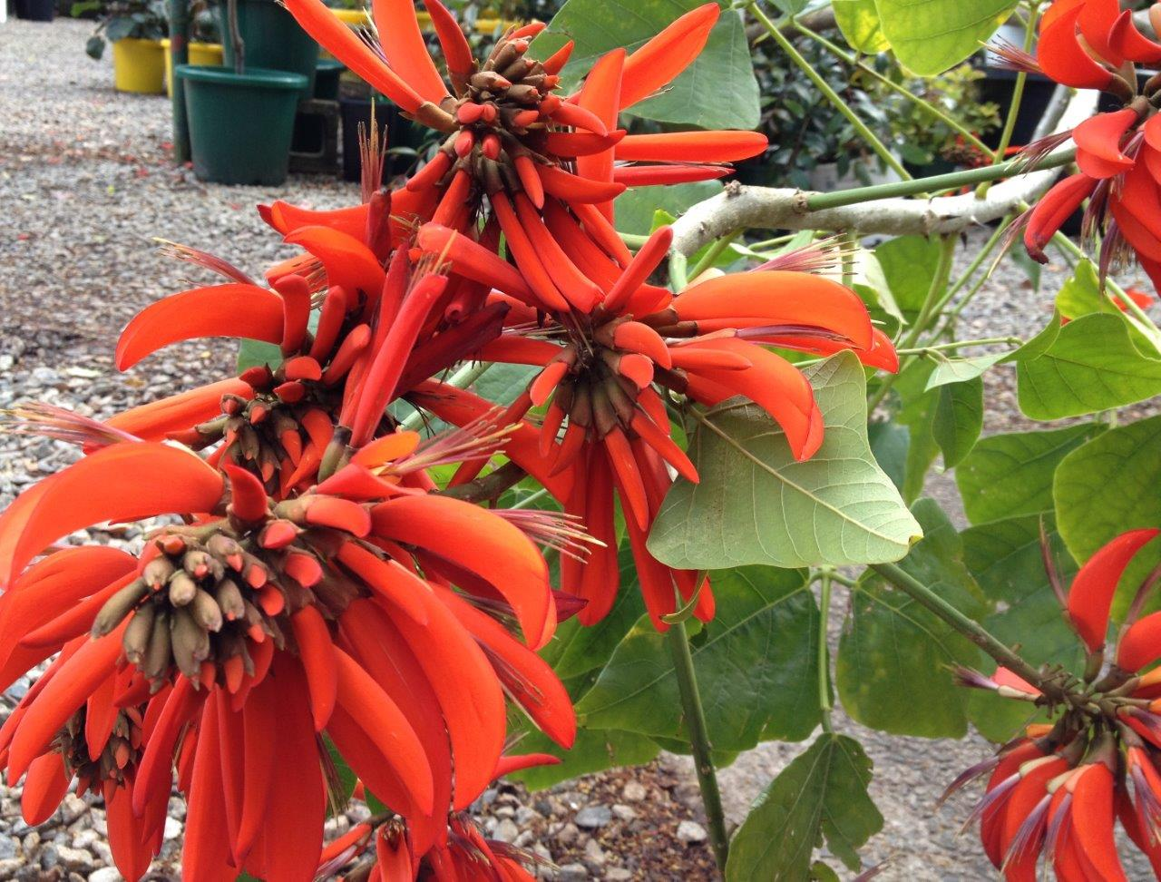 Erythrina Indica Common Name Coral Tree 500mm Pot