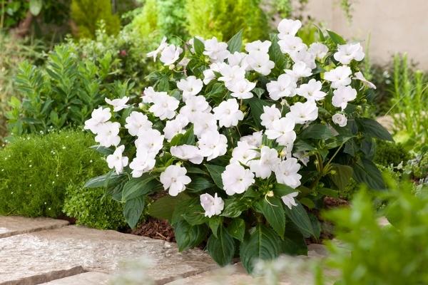 Impatiens Sunpatiens White 150mm Pot Dawsons Garden World