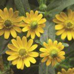 Sanvitalia cuzco flower