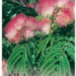 albizia silk tree