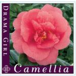 camellia drama girl