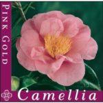 camellia pink gold