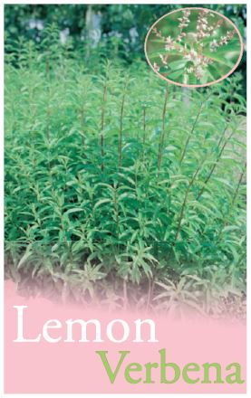 how to grow lemon verbena in a pot